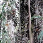 Monarch butterflies clustering on eucalyptus tree
