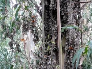 Monarch butterflies clustering on eucalyptus tree
