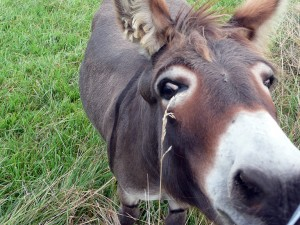 Gina, the miniature donkey