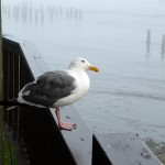 Olivia the gull in Bandon (OR)