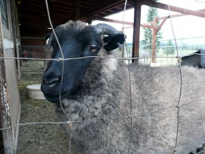Oskar the sheep